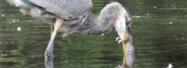 Fowl Play: Great Blue Heron Eats Rat in Central Park