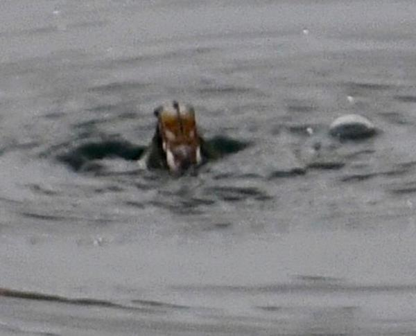 reservoir creature