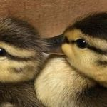 Baby Ducklings Saved Central Park