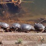 Turtles Invading Central Park