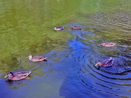 Morningside Park Duck Pond